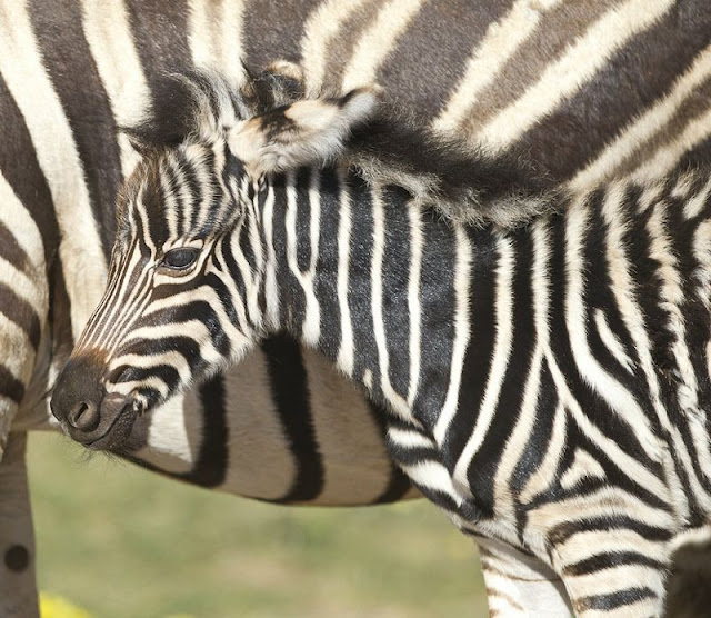 zooborns zebra