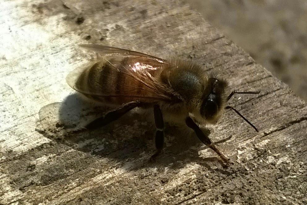 pszczoła wiosna