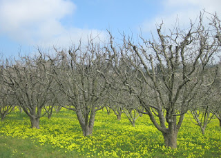 Bare trees in an orchard carpeted with blooming yellow oxalis along Eureka Canyon Road above Corralitos, CA