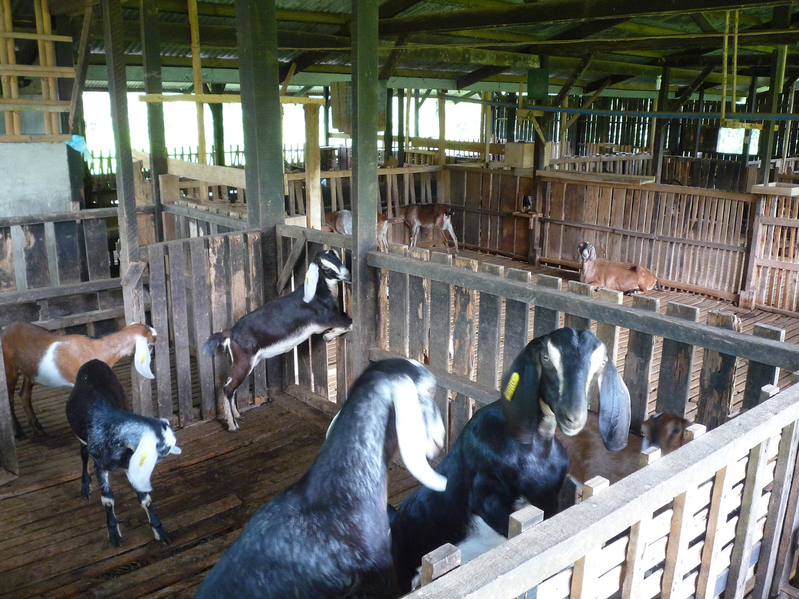 Business Plan | Nigerian Entrepreneur: Goat Farming Business Plans ...