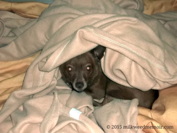 warm puppy wrapped in blanket, Bentonville, Arkansas