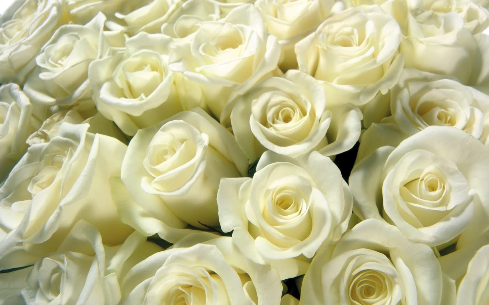 Novecientas trece rosas blancas