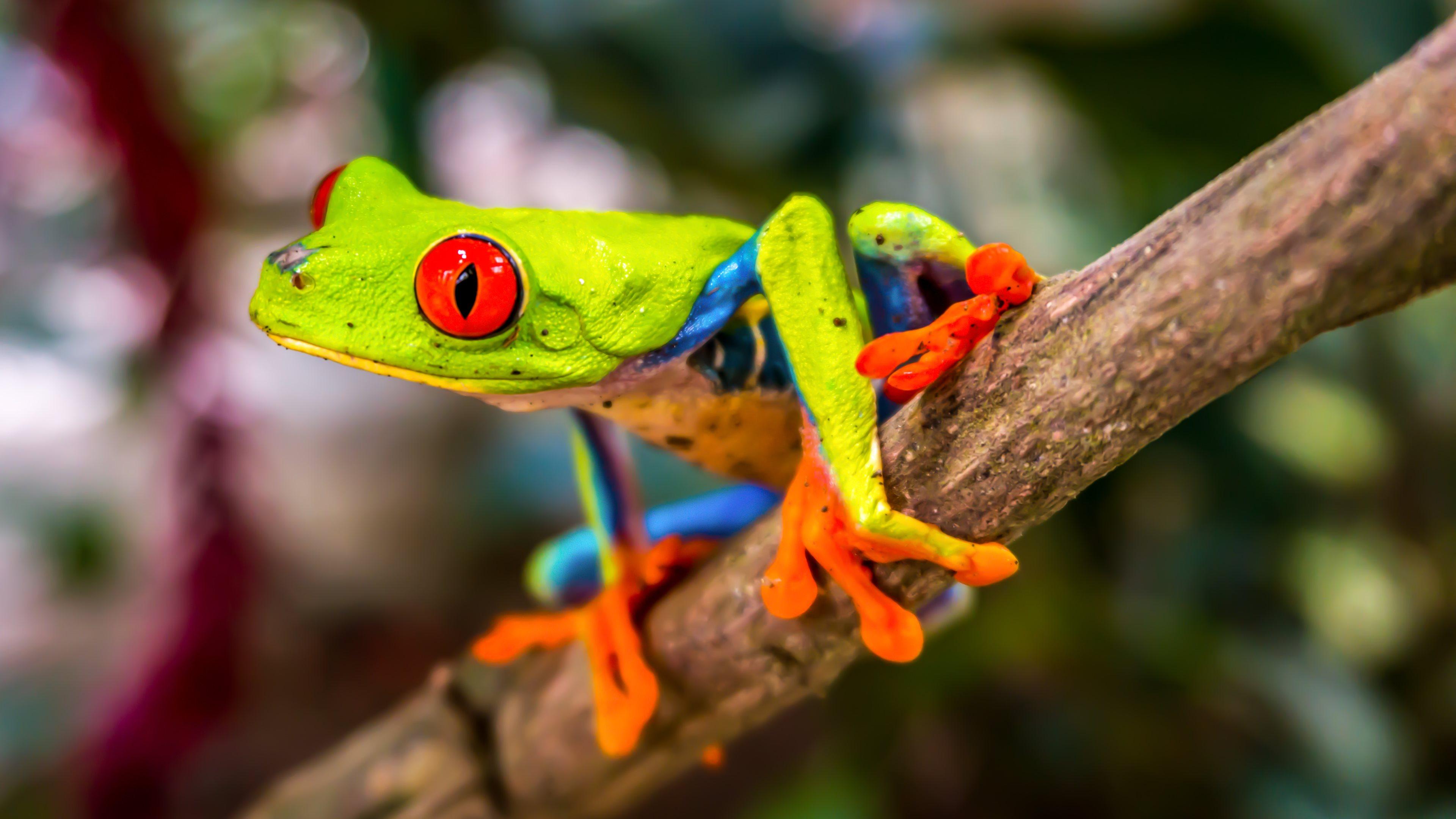 Red eyed tree frog tadpole - photo#25