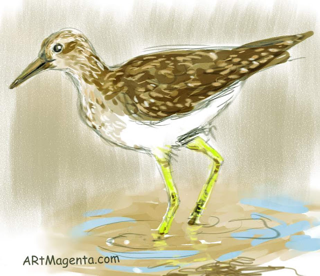 Wood Sandpipersketch painting. Bird art drawing by illustrator Artmagenta.