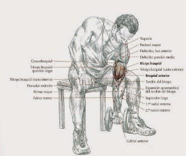 Curl de Bíceps Alterno Concentrado con Apoyo en el Muslo