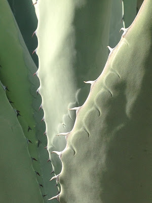 The Agave as Crocodile - by Maja Trochimczyk