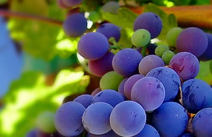 Buah Anggur di Napa Valley