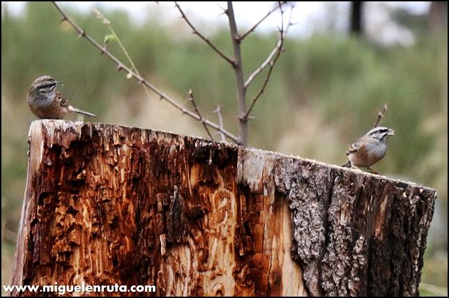 Hide-Ornitología-Hostal-Almanzor-Gredos_3