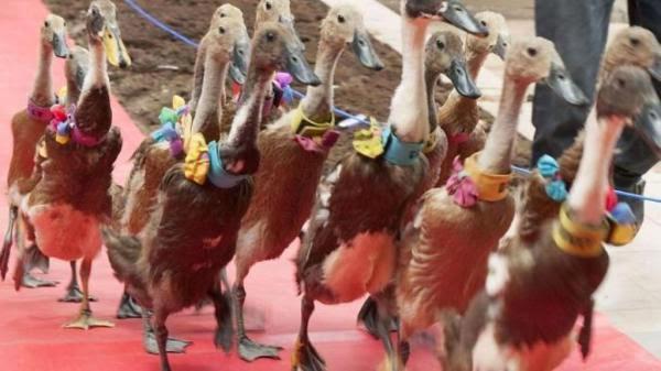 http://asalasah.blogspot.com/2015/01/fashion-show-bebek-di-restoran-makan.html