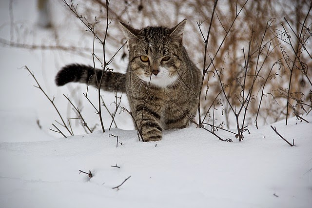 cat animal snow