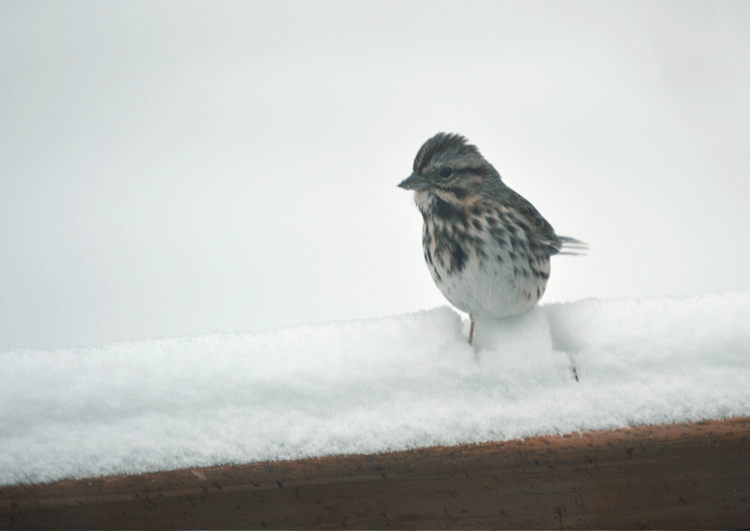 The Flying Clubhouse: Birds in the Snow | sparrow