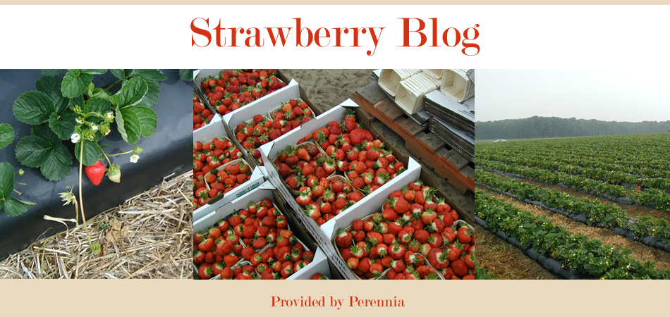 Nova Scotia Strawberry Blog