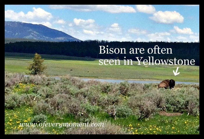 Yellowstone, Bison