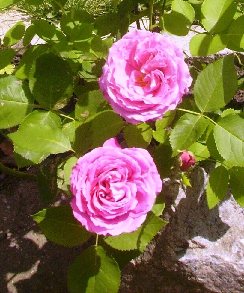 frl maigl ckchens tagebuch jetzt beginnt die zeit rosen aus stecklingen zu vermehren. Black Bedroom Furniture Sets. Home Design Ideas