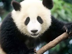 Save the panda bears