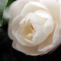 Camellias Flower