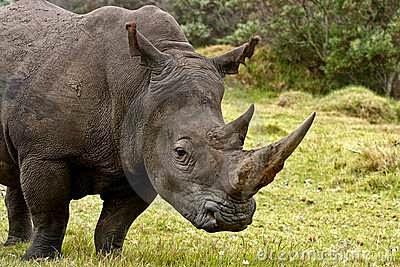 sauver-cornes-rinoceros