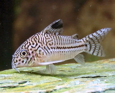 Parent fish Corydoras female and male