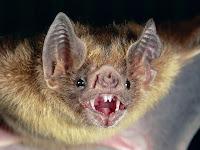 http://1.bp.blogspot.com/-CNlpt4uOiHI/Tqqp8hje0II/AAAAAAAAArk/ApSYg40A0jQ/s1600/common-vampire-bat_505_600x450.jpg