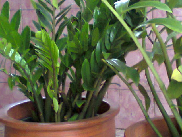 indoor plant zamia culkas