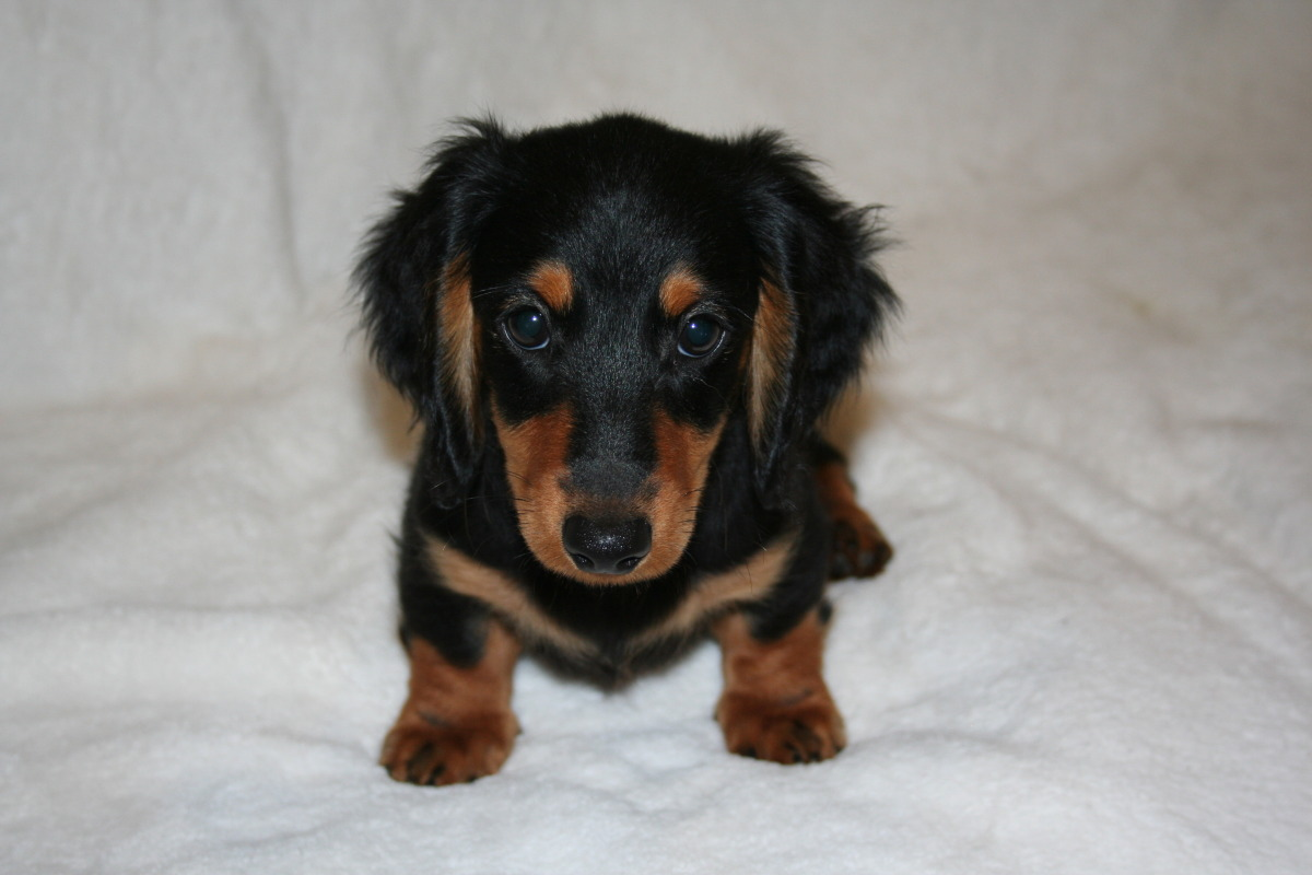 Cute Puppy Dogs Long Haired Dachshund Puppy