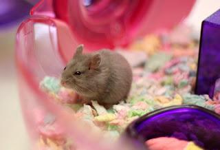 Penyakit Hamster