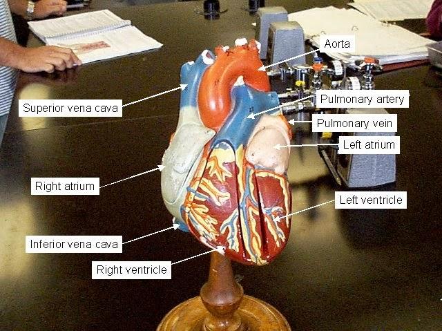 Como Hacer Maquetas: Maqueta del Sistema Circulatorio Descúbrelo ...