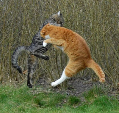 Foto kucing berantem yang keren 02