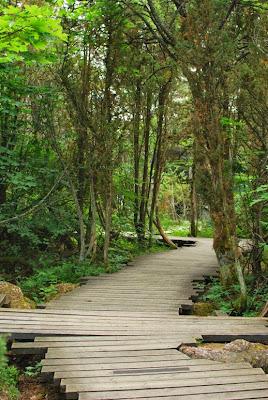 Puupäällysteinen polku metsässä