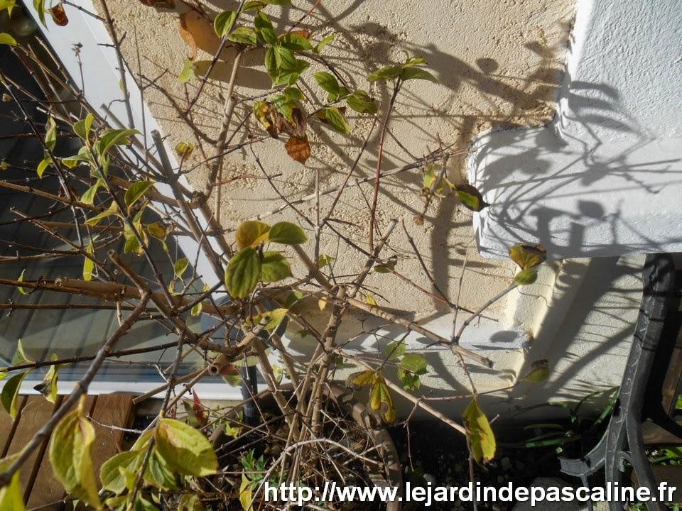 Le jardin de pascaline bouture de bois sec de seringat for Jardin oriente nord