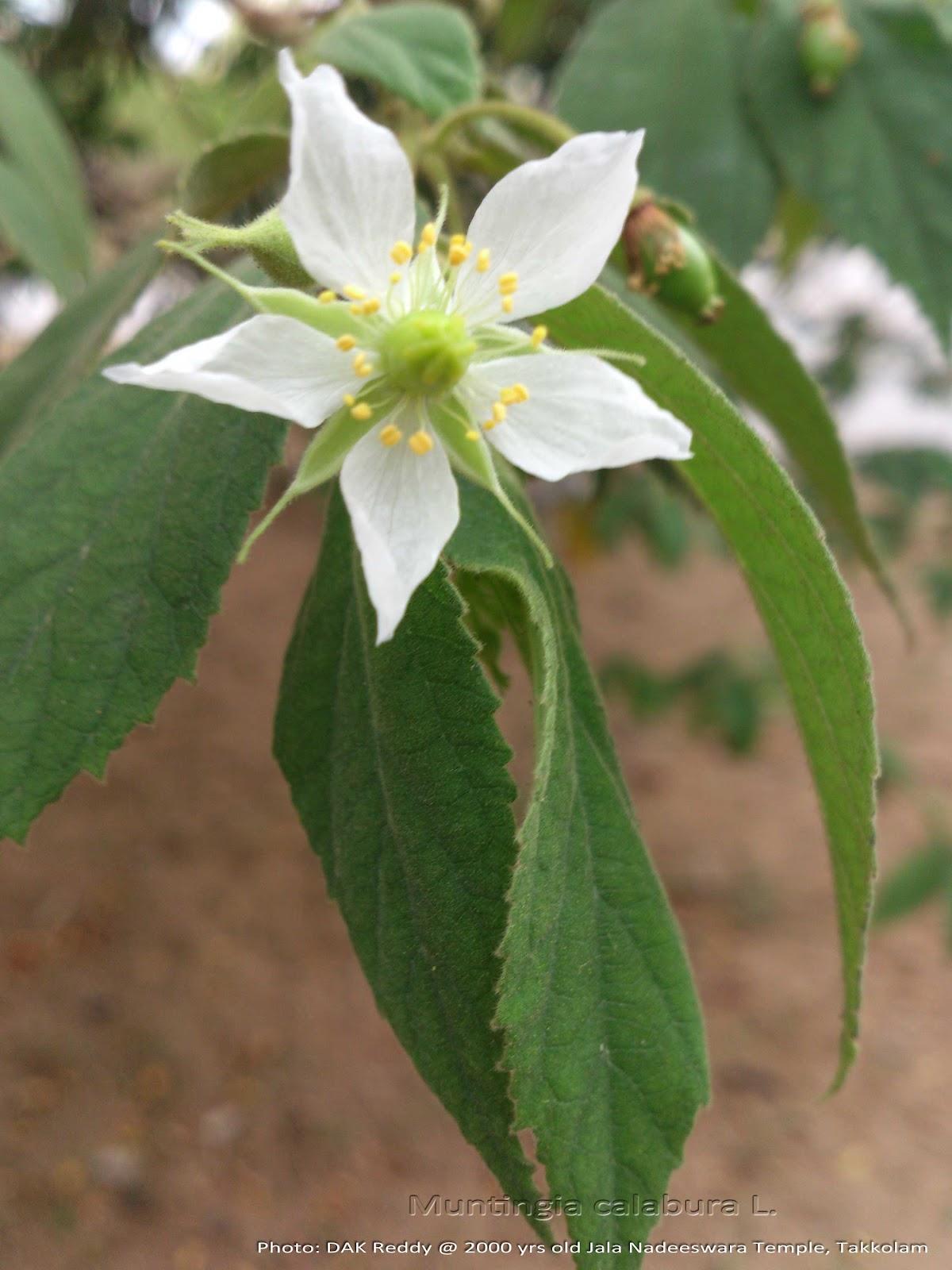 muntingia calabura Muntingiaceae, also placed in elaeocarpaceae, tiliaceae calabur-tree, calabura, capulin, cotton candy tree, jamaican cherry, jamfruit,, jamfruit tree, ornamental.