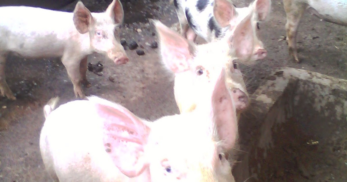 hog raising feasibility How to start a piggery business hog raising or piggery business have been a known source of income of most filipinos in the provinces and far flung regions.