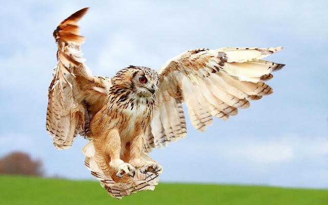 White Owl Fly