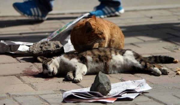 Kucing Ini Setia Menunggui Temannya Yang Telah Mati - Ada Yang Asik
