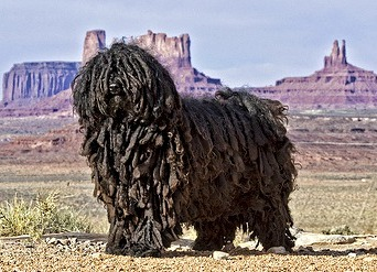 Weirdest Dog Breeds In The World Puli