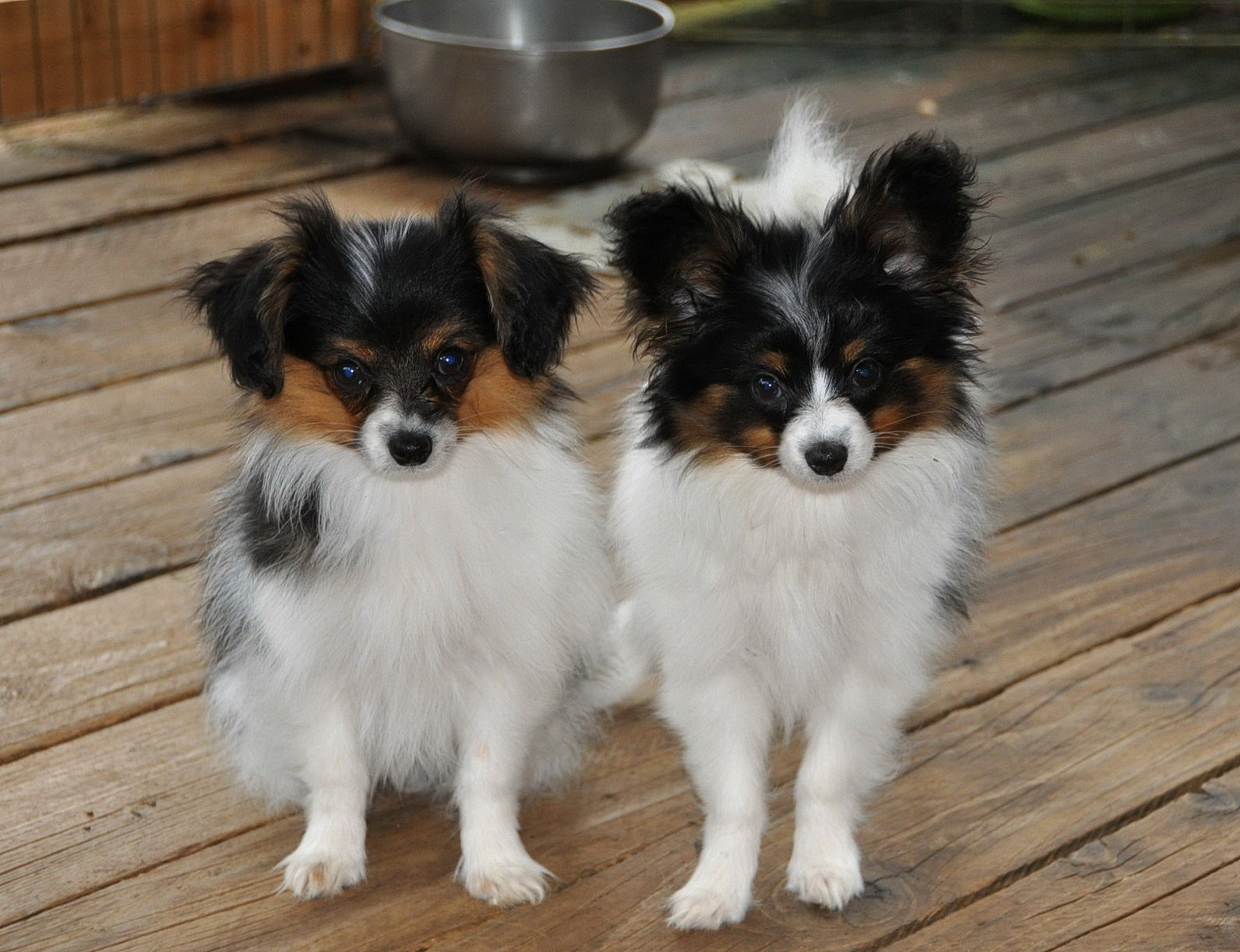 Road S End Papillons 14 Week Old Papillon Phalene Puppies