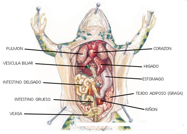 EL ESPACIO DIVERTIDO DE LAS CIENCIAS: Disección de una rana
