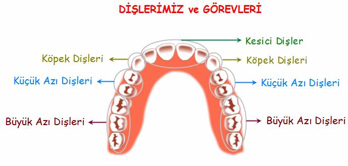 ağzımızda kaç çeşit diş vardır