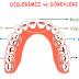 Ağzımızda Kaç Çeşit Diş Vardır ?