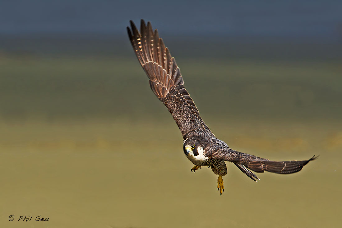 Phil Seu Photography Blog: Images of a Peregrine Falcon in ...