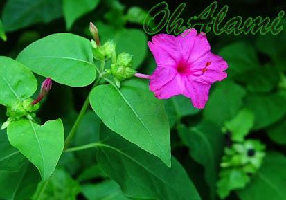 Khasiat Bunga Pukul Empat Untuk Kesehatan