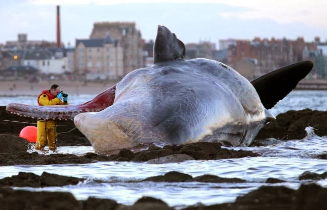 Jovem cachalote encalhou na praia Portobello, nos arredores da capital escocesa. Foto: Andrew Milligan