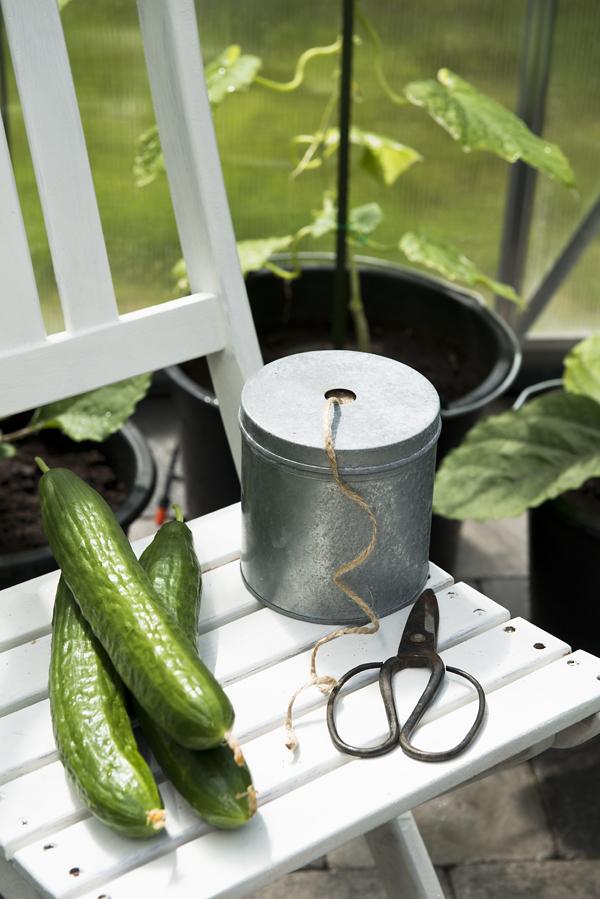 odla gurka, växthus