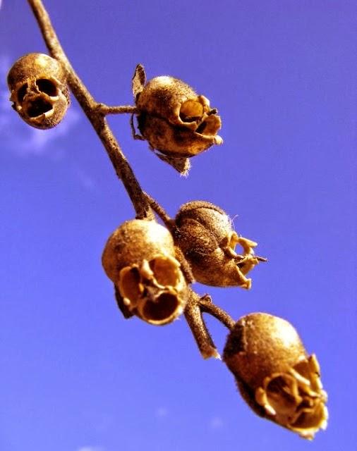Snapdragon , Bunga Aneh yang Mirip Tengkorak Manusia