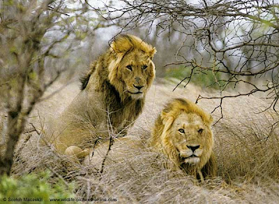 Angola Lion life and pictures