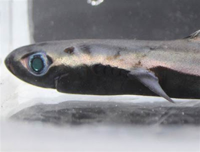 invisible lantern shark