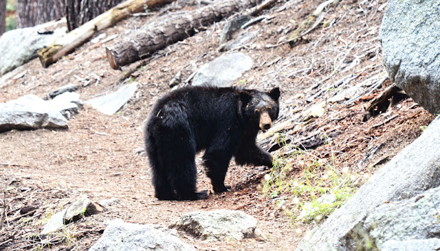 Ours - Sequoia National Park, Californie, USA