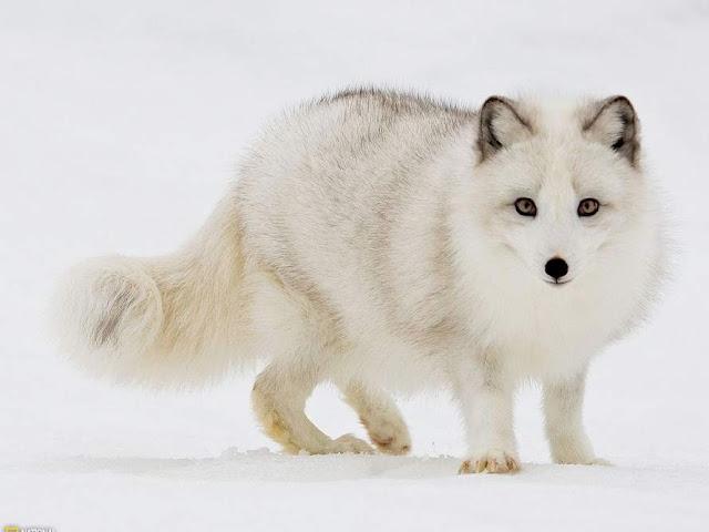 arctic fox,White Fox,amazing fox pics,strange animals pics ,amazing animals pictures