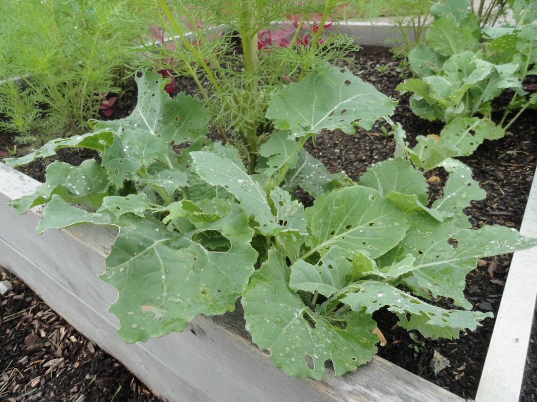 Garden of Aaron: My First (and Last) Experience Growing Collard Greens
