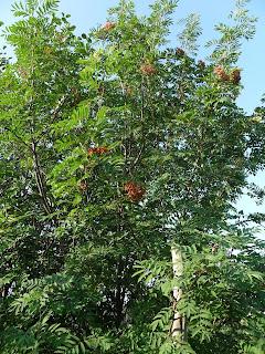 10 июля, взрослое деревце рябины